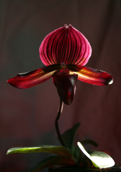 Lady Slipper 16a